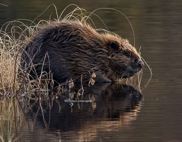 Beaver pho34-600